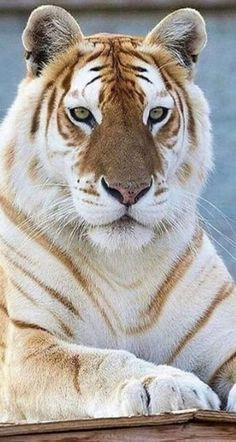 Majestic Animals, Rare Animals, Animals And Pets, Big Cats, Cats And Kittens, Cute Cats, Tiger Pictures, Cute Animal Pictures, Cute Wild Animals