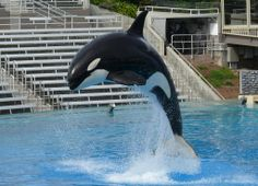 This is Orkid. Born on September 23, 1988 and raised (and still currently resides) in SeaWorld San Diego, she has had one of the saddest lives of any orca born in captivity. She lost her father, Orky II, three days after her birth and witnessed the tragic death of her mother, Kandu V, when she was almost 11 months old, leaving her extremely psychologically damaged.