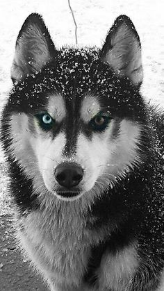 """Receive fantastic suggestions on """"siberian husky"""". They are actually readily available for you on our site. Receive fantastic suggestions on siberian husky. They are actually readily available for you on our site. Pomeranian Husky Puppies, Puppy Husky, Cute Husky, Siberian Husky Dog, Alaskan Husky, Alaskan Malamute, Huskies Puppies, Pomsky, Teacup Puppies"""