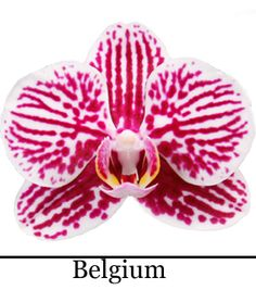 Phalaenopsis Belgium Fauna, Orchids, Outdoor Decor, Flowers, Photos, Plants, Pictures, Lilies, Royal Icing Flowers