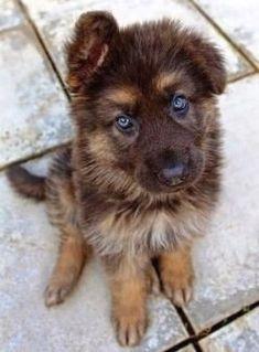 German Shepard Puppies --  CLICK Visit link above for more info #GermanShepardBaby #GermanShepardTraining