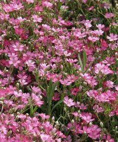 Gypsophila repens 'Rosa Schönheit' - Polster-Schleierkraut