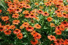 Echinacea Sombrero® Adobe Orange