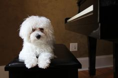 45 Reasons Maltipoos Are The Greatest Dog Maltese Poodle Puppies, Maltipoo Dog, Miniature Schnauzer Puppies, Schnauzer Puppy, Kittens And Puppies, Cavachon, Maltipoo Haircuts, Dog Haircuts