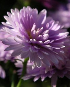 Aster ~ Aster is the September birth flower. Description from pinterest.com. I…