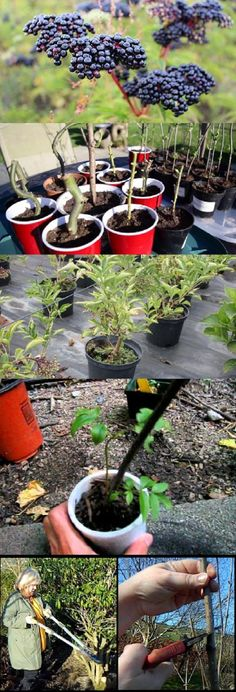 How To Grow Elderberry-Planting Elderberry-Care Of Elderberries Wie man Holunder anpflanzt Holunder- Elderberry Growing, Elderberry Plant, Gardening For Beginners, Gardening Tips, Gardening Quotes, Herb Garden, Garden Plants, Garden Birds, Garden Soil