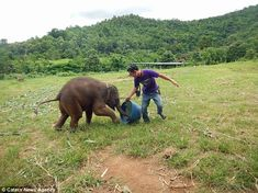 The baby elephant was filmed as it was entertained by one of the carers with a plastic buc...