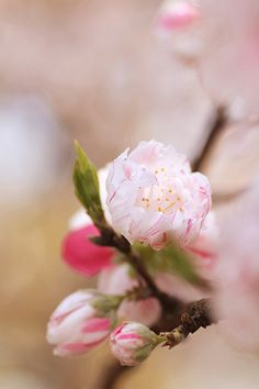 Peach Blossoms....