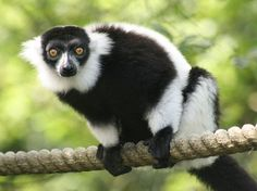 Black-and-white ruffed lemur (Varecia variegata) is one of the two species in the genus Varecia / Ruffed lemurs [Sw: varier]. Like all living lemurs, they are found only on the island of Madagascar.