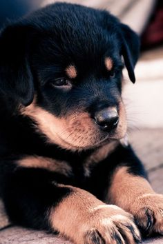 Rottweiler puppy - German origin - Guard dog - from I'm His Kinda Crazy