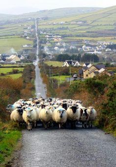 This reminds me of when I went to Ireland and there was a sheep brigade coming head on towards us in the middle of the road.