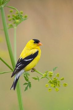 American gold finch. Saw some today on the feeder