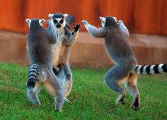 Ring tailed lemur by floridapfe, via Flickr