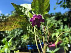 Jalapeño Blüte Deep Purple Capsicum Annuum, Deep Purple, Plants, Plant, Pepper, Chili, Planets