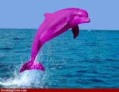 Never knew there were pink dolphins in the Amazon River until ...