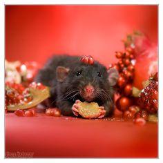 Arkanys 33 - Fancy rat by DianePhotos Pet Rats, Pets, Chinchillas, Hamsters, Rodents, Rat Girl, Dumbo Rat, Fancy Rat, Miniature Dogs
