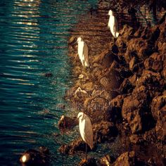 Three beautiful, serene snowy egrets on the shores of Oakland's Lake Merritt