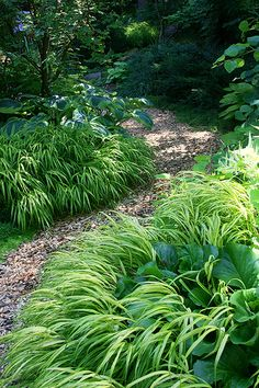 Hakonecloa (Japanese forest grass) gives great presence to shade gardens. Hakonecloa (Japanese forest grass) gives great presence to shade gardens. Forest Garden, Woodland Garden, Garden Paths, Back Gardens, Outdoor Gardens, Path Edging, Shade Garden Plants, Plantation, Dream Garden