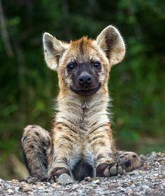 *Baby Hyena(byWizard World Photography)