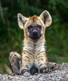 *Baby Hyena (by Wizard World Photography)