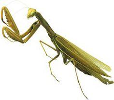 Google Image Result for http://childrenstorytales.com/wp-content/uploads/2011/09/a-Praying-Mantis.jpg