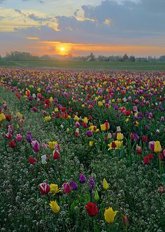Sunset in Tulip fields for my love 6789
