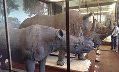 Spitznashorn (Black Rhinoceros) im Naturhistorisches Museum in Wien.