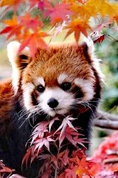 Red panda by Cute Little Animals, Cute Funny Animals, Nature Animals, Animals And Pets, Photo Panda, Red Panda Cute, Panda Facts, Photo Animaliere, Baby Animals Pictures
