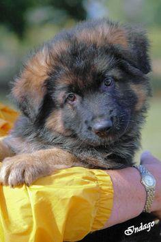 http://IndagoDogPhotography.co.uk  Mascani puppy