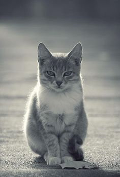 Oh this little cat looks SO much like my Miss Shai - almost identical, especially with the white on his/her chest...