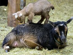 #goatvet likes this article about why  Nigerian Dwarf goats make great pets