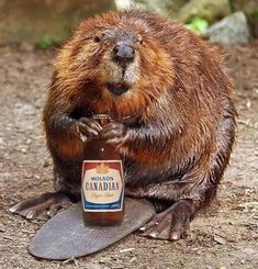 "A Beaver with a Molson Canadian Beer resting on his tail ""Summertime"" Canadian Memes, Canadian Things, I Am Canadian, Canadian History, Canadian Humour, Funny Animal Pictures, Funny Animals, Happy Canada Day, Canada 150"
