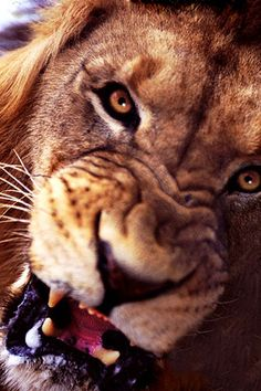 African Lion Snarling - South Africa | by: (Steve Bloom)