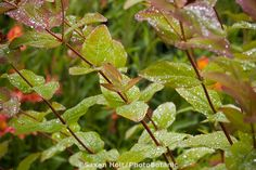 Hypericum androsaemum, Tutsan St. John's Wort foliage with glistening wet leaves from water drops Digging Dog Nursery