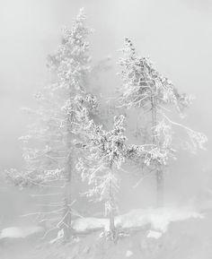 Snowy Trees in the Fog