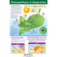 Visualize the Process of Photosynthesis & Respiration. Comprehensive coverage of the steps of photosynthesis and the two stages of respiration. Biology Classroom, Biology Teacher, Teaching Biology, Science Biology, Science Education, Life Science, Physical Science, Earth Science, Science Penguin