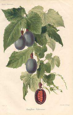 Vintage botanical fruit illustration