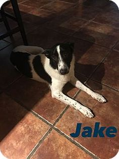 Mesa, AZ - Border Collie Mix. Meet JAKE 1 YR BORDER COLLIE, a dog for adoption. http://www.adoptapet.com/pet/17945588-mesa-arizona-border-collie-mix