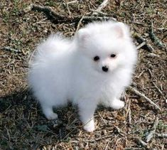 Teacup Pomeranian Puppy  I want one of these!!  So pretty....snuggable huggable!