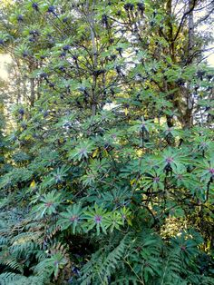This evergreen tree is handsome year round. The dark green leaves are polished and have dark purple petides. The flowers are tiny purple in spring. This tree is very tough. Green Leaves, Plant Leaves, Woodland Plants, Evergreen Trees, Outer Space, Lust, Garden, Flowers, Image