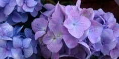 FARV HORTENSIA BLÅLIG - How to color your hydrangeas blue.