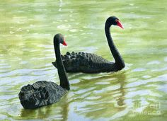 Two Black Swans Art Print by Sharon Freeman.  All prints are professionally printed, packaged, and shipped within 3 - 4 business days. Choose from multiple sizes and hundreds of frame and mat options.