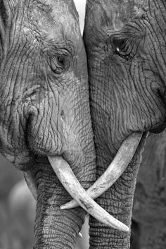 elephants are the best know for love