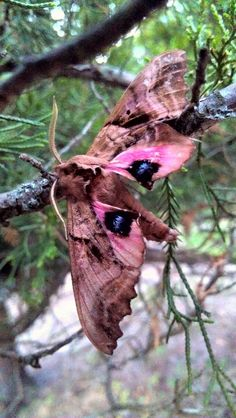 Blinded sphinx moth: Paonias excaecata