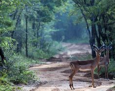 Two impala's spotted on the trail through the bushveld of our game lodge