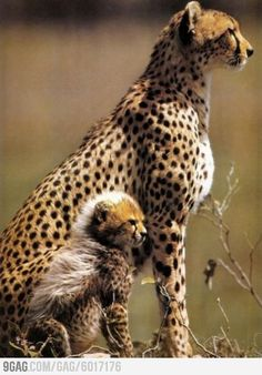 Mother cheetah and her baby!