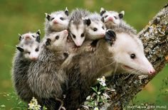 I think opossums are super cute, albeit in a quirkyway. With hairless tails and lots of teeth, tosome people, these cat-sized,omnivorous marsupials are a bit ugly and off-putting. But I appreciate their odd appearance and how they are able to still...