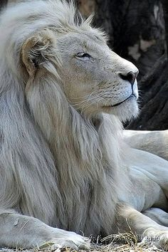 White lion Letsatsi at the Rhino and Lion Nature Reserve in Gauteng, South Africa