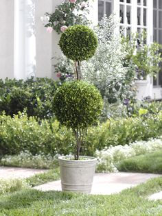 Double Ball Boxwood Topiary
