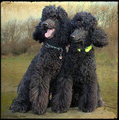 """Считается, что пудели были выведены во Франции, но некоторые называют их родиной Германию, так как слово «пудель»  произошло от немецкой фразы """"pudel-nass"""" (промокший до нитки). Следует отметить,  что во Франции эта порода собак называется caniche от cane — утка, что свидетельствует о происхождении пуделя от охотничьих, французских водяных собак."""